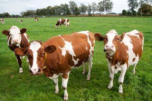 Bildtext: Många svenska gårdar säljer färdigpackade köttlådor med gårdens                                        egna djur.