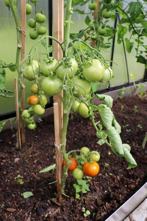 Växthusen används för grönsaksodling.