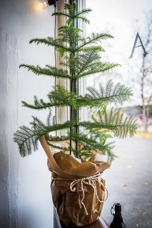 En rumsgran är vacker året runt. Till advent kan man klä krukan med vaxat papper för att förstärka adventskänslan.