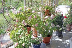 En del pelargoner har vuxit sig stora med åren . De trivs bra både sommar- och vintertid inne i den inglasade altanen.
