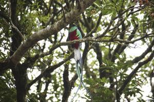 Quetzalen är Guatemalas nationalfågel. Den har varit hotad, men finns i reservatet i Guatemala. Foto: Hakon Wikström
