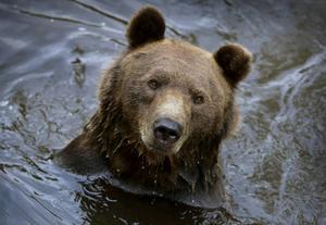 Björnstammen i Västernorrland och Jämtland ska inventeras. I juni nästa år väntas svar på hur många björnar som rör sig i skogarna.