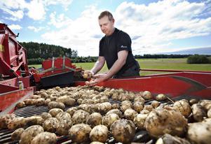 Anders Hansson kollar statusen på årets potatisskörd. Bra, men något små, blir omdömet.