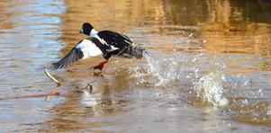 En knipa springandes på vattnet