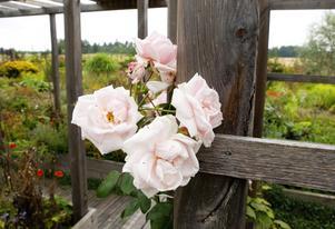 En skönhet vilar. Klätterrosen New dawn blommar ännu i pergolan som kommer bli övervuxen och fungera som avdelare i trädgården.