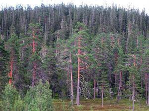 Skogen är urskogsartad och består av många tallar som är 250–300 år gamla.