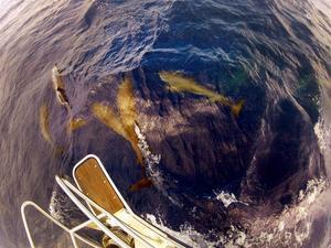 Ibland kommer det delfiner som simmar framför båten som om de utmanar oss att leka kull med dem.