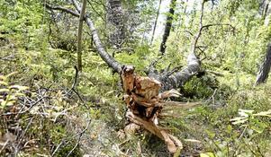 Vindfälle. Vinden knäckte en cirka åtta meter lång björktopp när Kyrkbergets förskola. Trädet är ruttet i kärnan. Bredvid står sedan länge döda höga granar och väntar på att knäckas.
