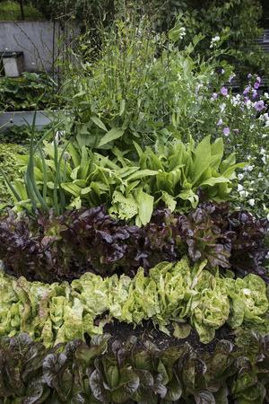 Det odlas bland annat sallad av olika sorter.
