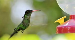 På Jamaica lever fyra arter av kolibrier och hela 251 andra fågelarter.