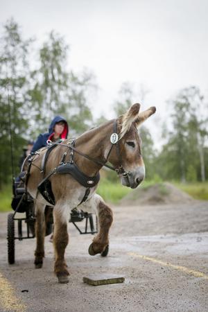 Hästrallyt är inte bara för hästar. Åsnan Harley tar sig genom första grenen, att sätta hoven på en utlagd platta i farten, tillsammans med sin förare Hanna Pettersson.