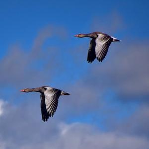Vid Eskilstuna våtmark samlas alla möjliga fågelarter. Här är det två gäss som gör sällskap vidare
