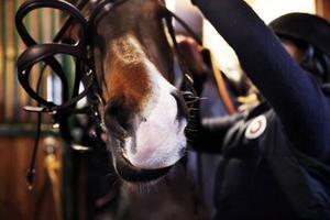 Hästen Svante görs redo för ett träningspass.
