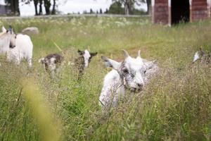 Även getterna ska få vara med när mejeriet drar i gång. Getost står på agendan.