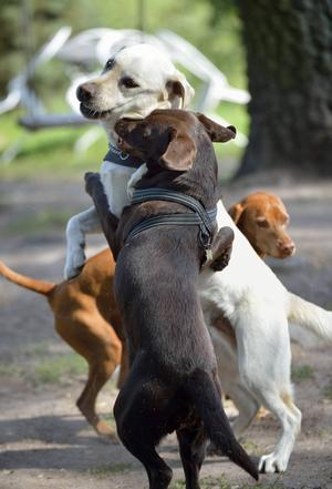 Hundar springer runt utomhus på hunddagiset Stockholmshundarna i Ur & Skur som bedriver verksamheten på Smedstorps gård i Upplands Väsby kommun.