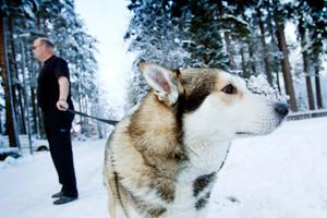 Hunden Amigo rymde och när en flicka mötte honom trodde hon att det var en varg.