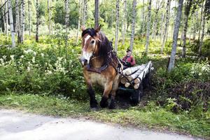 Conny Blom får mycket positiv respons när han kommer för att arbeta i skogen med sin ardennerhäst Avec.