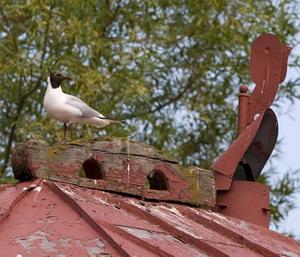spejarplats. Att sätta upp hinder på fåglarnas spejarplatser kan vara en effektiv metod.