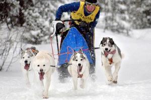 Samernas Riksförbund, SSR, tycker att det finns en grund för restriktioner av den organiserade hundspannverksamheten på renskötselområden.Foto: Mattias Modéen