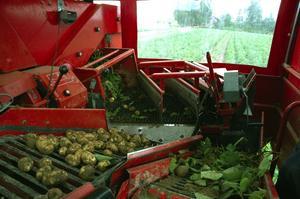 Maskin. Helautomatiserad plockanläggning som skiljer blasten från potatisen. Foto:Berndt Norberg