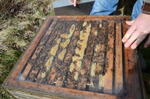 Cirka 20000 bin har övervintrat i kupan. Så fort det blir varmt nog för blommor att producera nektar ger de sig ut.