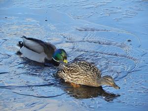 Det här andparet träffade jag på i en park i Sala. Hannen verkade var en riktig gentleman. Isen var tunn och brast hela tiden så honan hade vissa svårigheter att ta sig fram. På bilden hjälper hannen sin hona genom att puffa på henne där bak så hon kunde ta sig upp på isen.