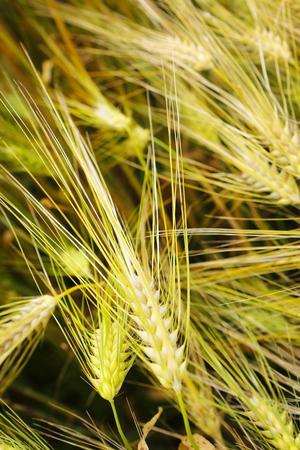 Kornen har redan gulnat och det verkar bli en tidig och stor skörd i år för länets lantbrukare.