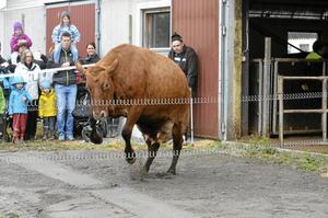lantbrukaren Sven Dybeck, vid dören, kunde konstatera att det vara bra spring i bena vid kosläppet på Ältetorps gård.