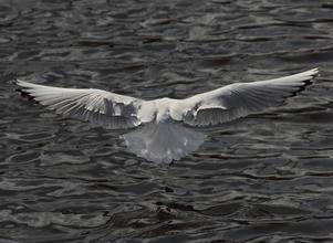 Landande mås med ett imponerande vingspann.