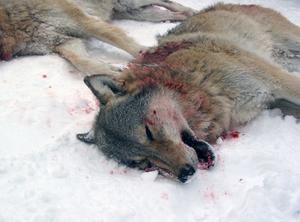 Efter nyår blir det med stor sannolikhet licensjakt på varg. Hur jakten ska gå till och hur många vargar som ska skjutas i länet är ännu oklart.