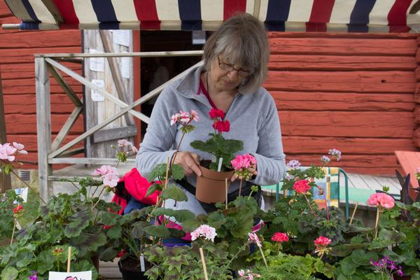 Ann-Sofi Wiik ger pelargonerna och de andra blommorna den sista omvårdnaden innan försäljningen börjar.