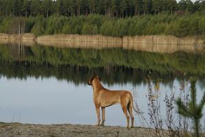 Denna bild fångade jag på min hund Rex Ventors Pegasus när vi var vid badgropen i VAD och vandrade en dag. Underbara spegelbilder blev det. Denna dag var det helt tyst i naturen när vi var där ute.Det blev en perfekt uppladdning för oss som snart åker till Norge för att tävla i hundutställning.