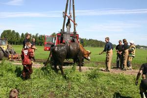 Kvigan Ester räddades ur ett dike vid Stora Tjugesta gård under torsdagsförmiddagen.