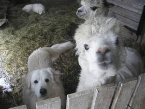 Maremman är framavlad för att skydda får, eller som här alpackor, från rovdjursangrepp.