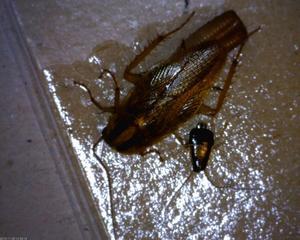 Vuxen kackerlacka med nymf, ett stadium mellan ägg och vuxen individ.