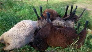 Bara fem får återstår av de 19 som Christer hade så sent som på måndagen.