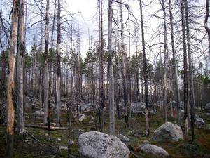 Västansjö naturreservat i trakterna av Ytterhogdal är ett brandskadat område med björkar som hyser rödlistade brandberoende insekter. Foto: Göran Eriksson