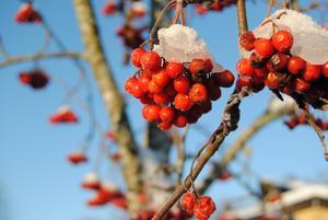 Fina, röda rönnbär som kommer fram i vinterns solsken.