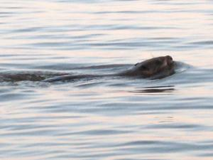 Det är inte så ofta man får sällskap av en bäver under en kvällsvanding vid Mälaren men det fick jag i veckan. Bävern är ju ett skyggt nattdjur så alltför nära ville den inte komma och efter ett tag vände den och simmade åt ett annat håll.