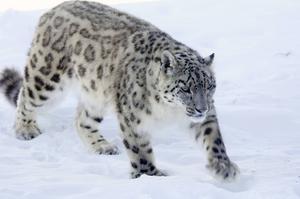 Det finns bara några tusen snöleoparder i världen. Den första bilden på en snöleopard togs så sent som 1970 och väldigt få personer har sett kattdjuret i det vilda.