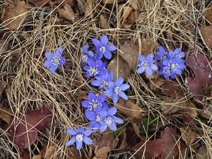 Anette Wallin i Alsen hittade de här blåsipporna på en promenad den 27 april.