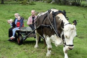 Oxen Sixten personifierar Sannerudsmarken. Det är sjunde året han vikarierar för de två andra oxarna, som fick avlivas, berättar körkarlen Henrik Lindeborg.