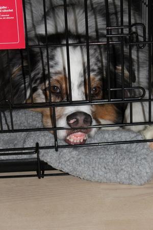 Boboo hänger bokstavligen läpp när han blir instängd i bur!