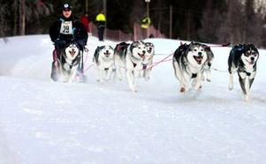 Fullt ös  i spåret när Bengt-Åke Sjölund och hans hundar drar iväg på distansen är 2x16,3 kilometer.