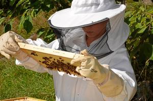 Biodlare. Ruben Ahnér tar hand om sina bin.Foto: PRIVAT/Anna Ahnér