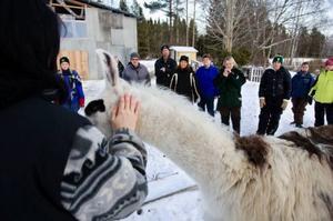 Intresset för lamadjur är stort, i helgen har elva personer lärt sig mera om djuren på kurs  i Tandsbyn.