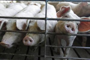 Att importerat griskött ofta är billigare än svenskt beror på de djurrättslagar som gäller i andra länder, skriver Ylva Gefvert.