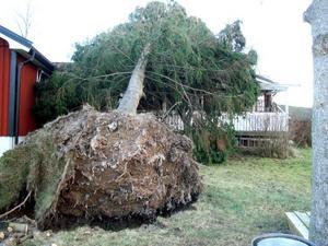 Stormen Dagmar ryckte upp träden ur marken.