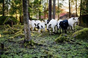 Per har totalt ett 40-tal djur. Han har främst kor och kvigor. Av dessa är ett 20-tal fjällnära kor.