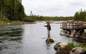 Jesper Svensson har rest från Stockholm till Gimån för att fiska öring. Det har varit lite dåligt med fiskelyckan på sistone.